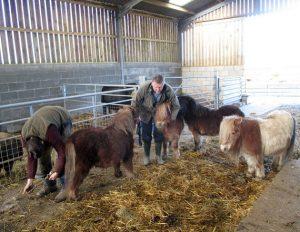 Shetland pony manicure
