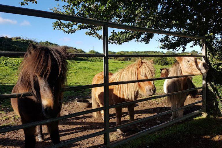 Help groom the Shetland ponies