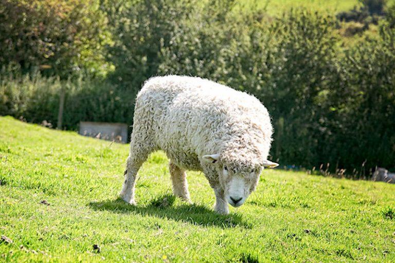 Lovely Bertie the longwool ram