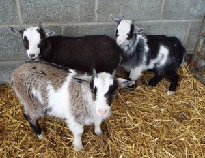 The three billy goats gruff at Lower Campscott Farm